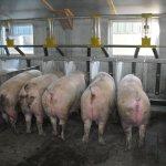 biofix varkens dragende zeugen